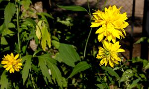 Цветы во дворе, dvor-04995