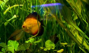 Аквариумные рыбки, akv-013
