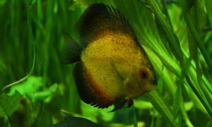 Аквариумные рыбки, akv-016